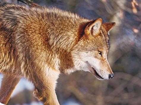 Старый егерь рассказал, чего должен бояться человек при встрече с волком