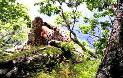 Московские зоологи устроили фотоохоту на леопардов в Приморье