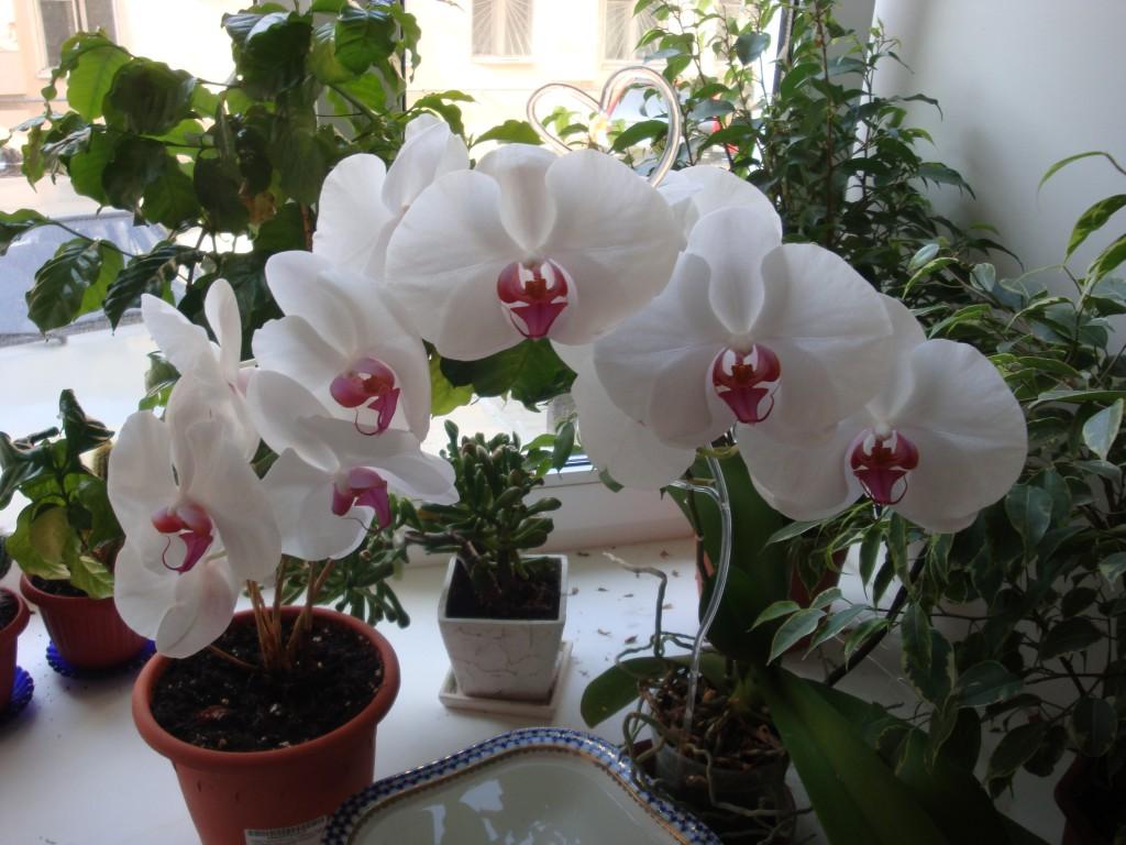 белая цветущая орхидея