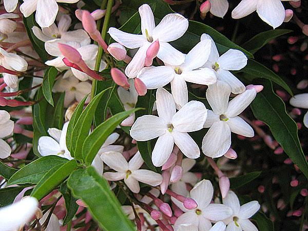 выбрать комнатный цветок жасмин многоцветковый тип реакций