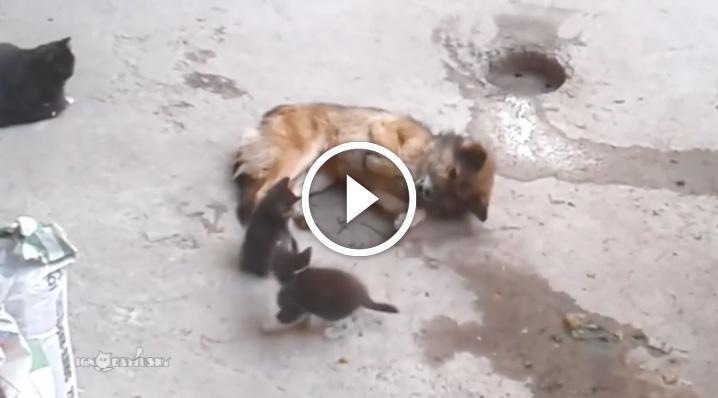Кошка знакомит котят со своим давним другом