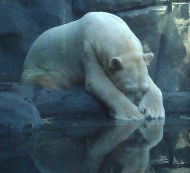 """умер """"самый грустный медведь в мире"""""""