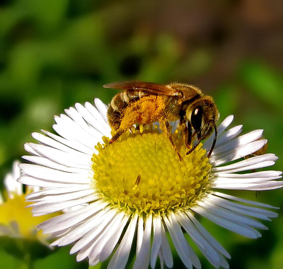 Солнечная пчела