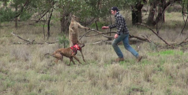 Мужчине пришлось боксировал с кенгуру чтобы спасти свою собаку. Видео.