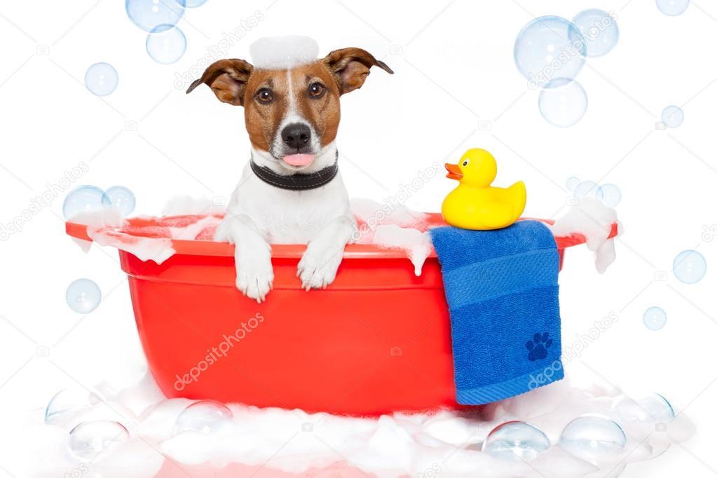 Джек рассел терьер принимает ванну!