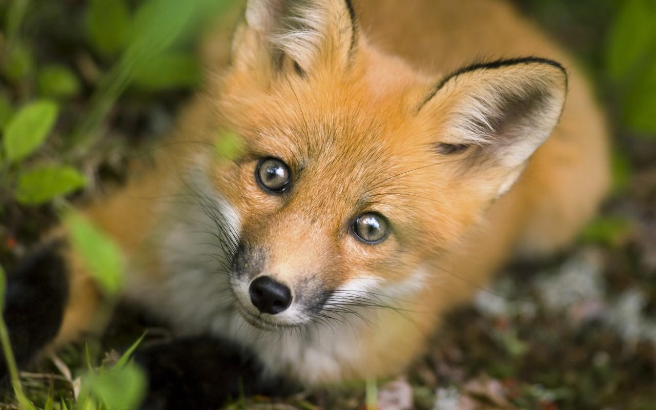 Естественная красота хитрых лис