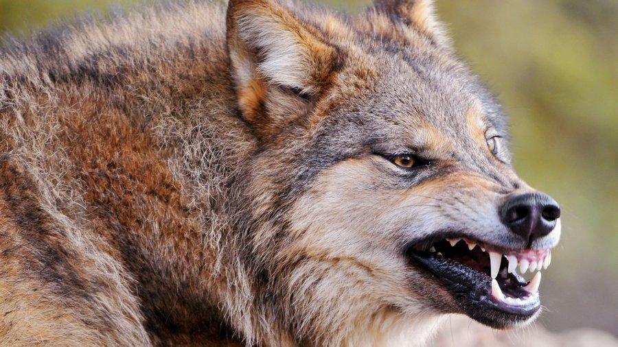 В Татарстане волки прорвались в деревню
