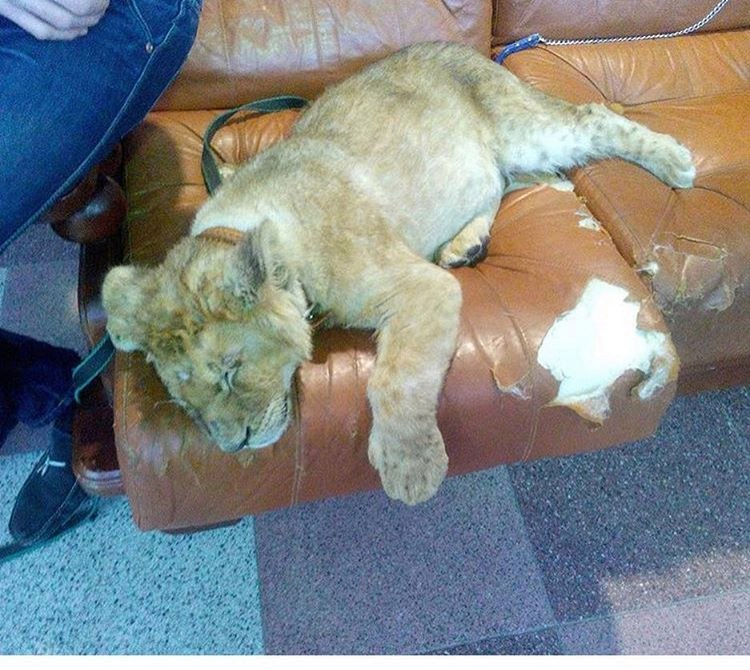 Жители твери возмутились из-за львенка в торговом центре