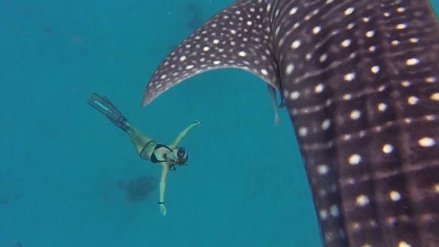 Человек играет с китовой акулой. И завораживающая красота, и страшно!