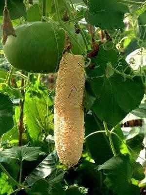 Как вырастить мочалку - люффа