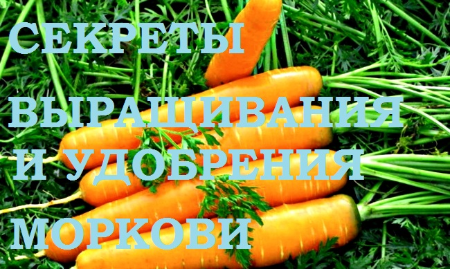 Морковь. Секреты удобрения и выращивания.