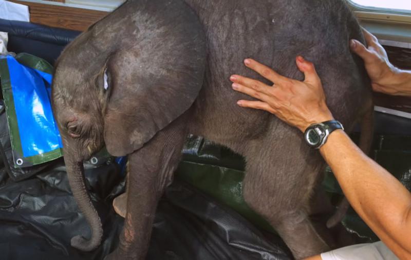 Родная стая бросила малышку Мойо, и спасатели нашли ее в окружении голодных гиен животные, слоненок