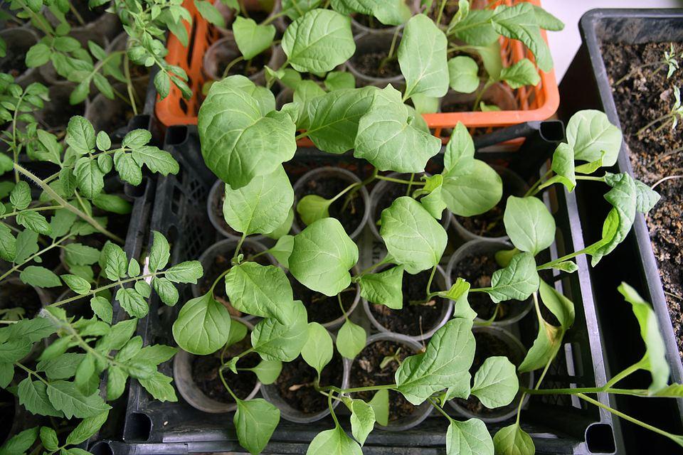 Болезни рассады: как отличить зараженные растения