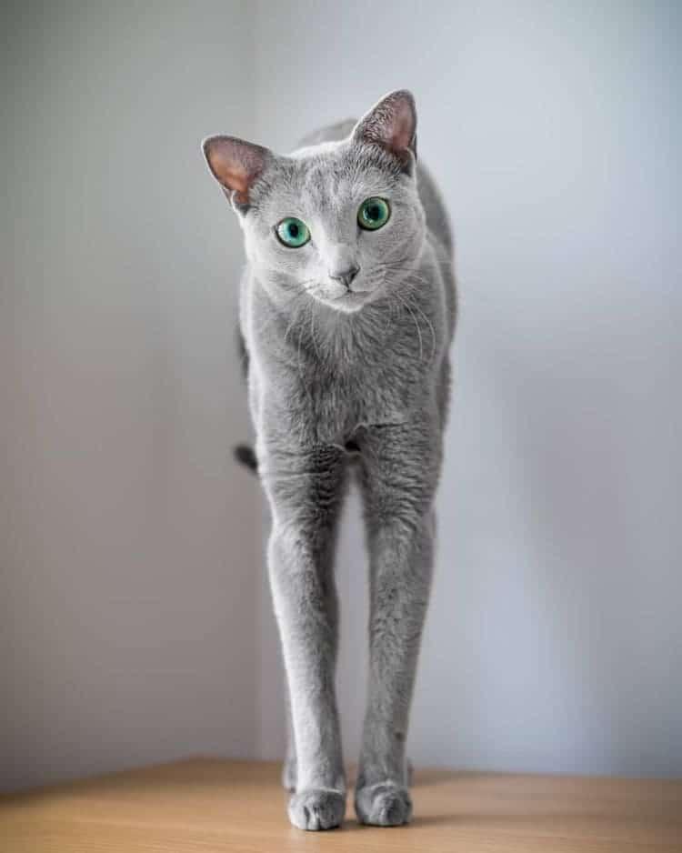 russian-blue-cats-5.jpg