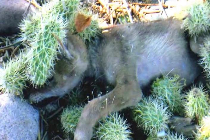 Мать этого детеныша койота терпеливо ждала неподалеку, пока спасут ее малыша