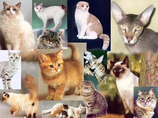 КОШКИН ДОМ. Генетика кошек (научные данные)