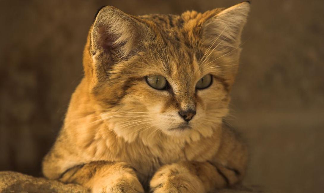 Здесь водится арабский песчаный кот — создание нелегально милой внешности. Охота и добыча этих животных запрещена законом, но многие туристы приезжают в пустыню как раз с этой целью.