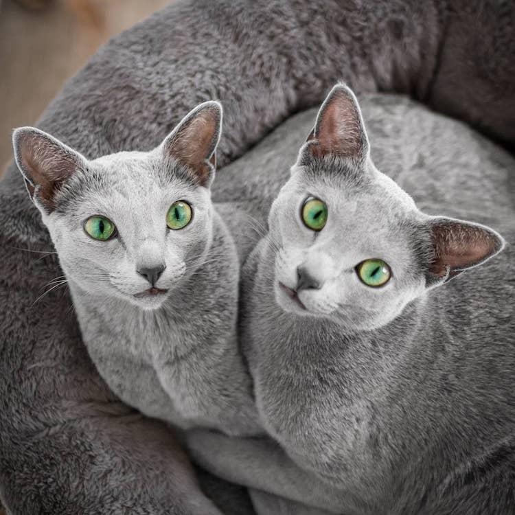 russian-blue-cats-4.jpg