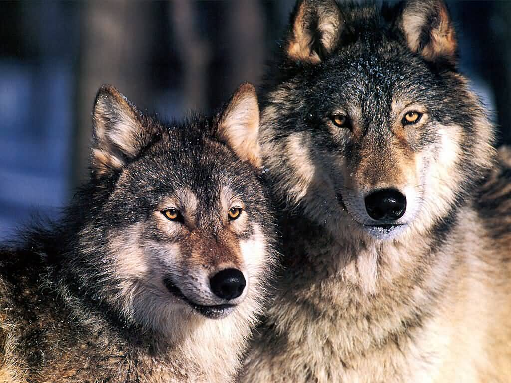 Тунгус и волк, Великий Атаман и волк, Волк и волк