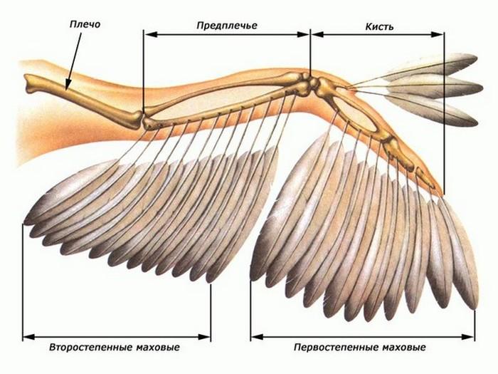 Как устроено крыло птицы.