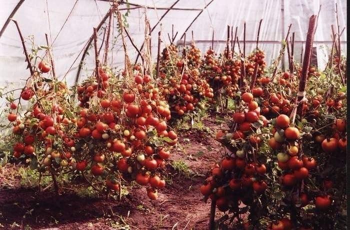 60 томатов с одного куста? Это реально!