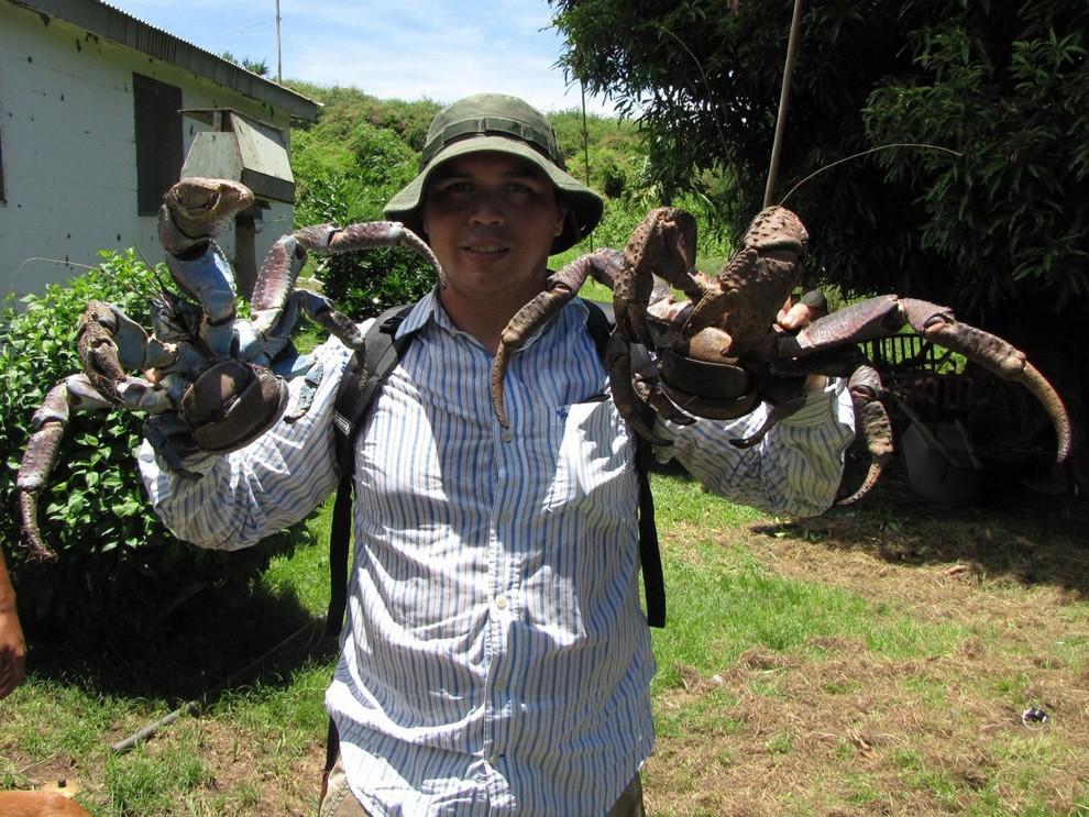 Coconutcrab08 Самый крупный представитель членистоногих, кокосовый краб!