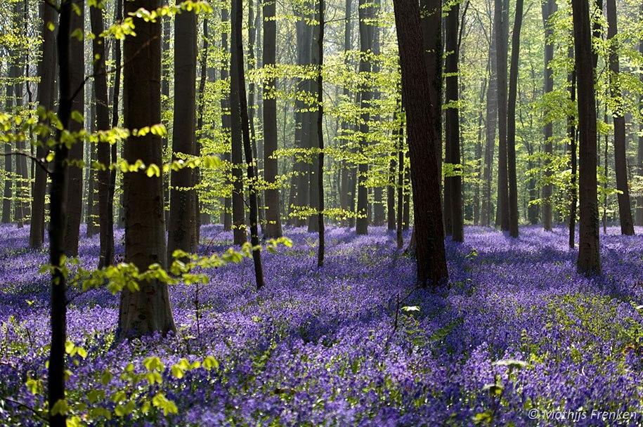 Мистический голубой лес в Бельгии
