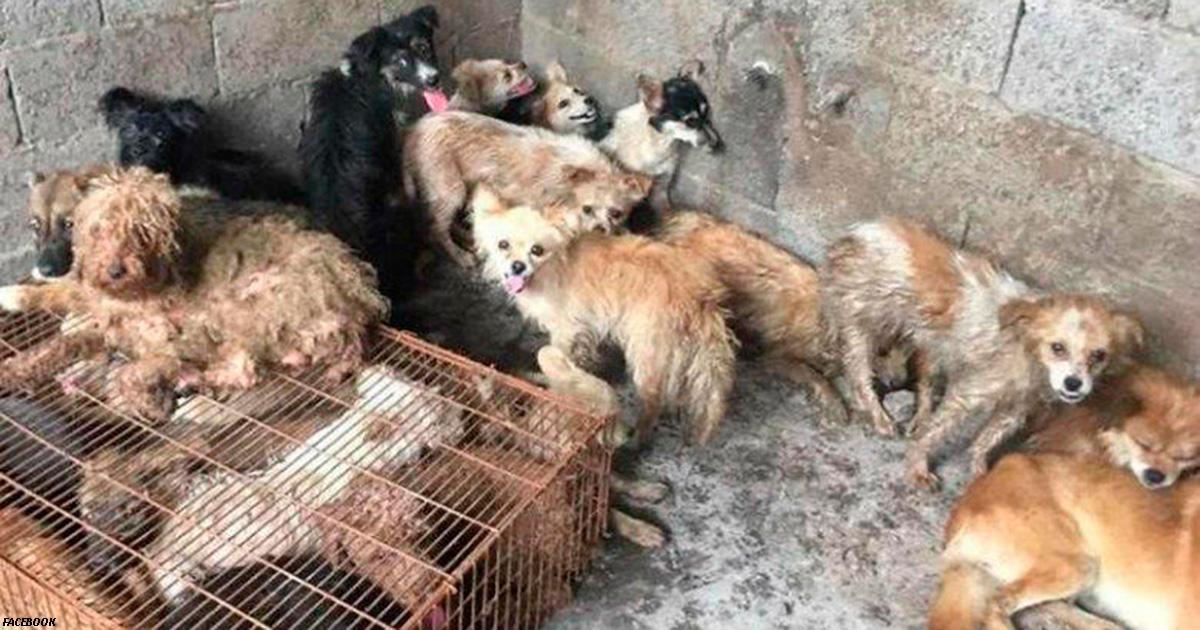 Активисты спасли 62 собаки, которых собирались приготовить для фестиваля в Китае