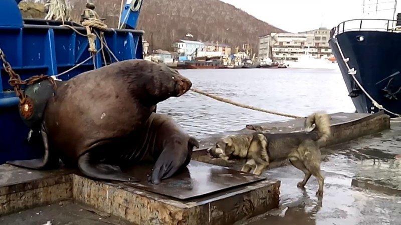 Не тявкай! Собака вывела из себя сивуча