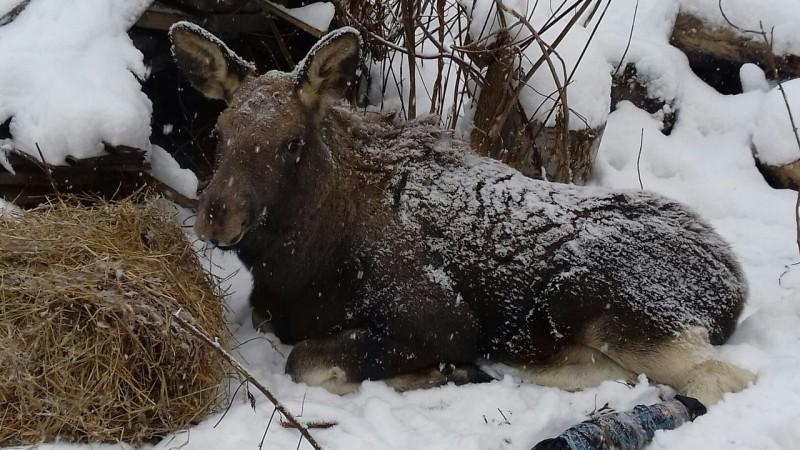 Жители Кемерова спасают лосенка, которого нашли в лесу с раненой ногой
