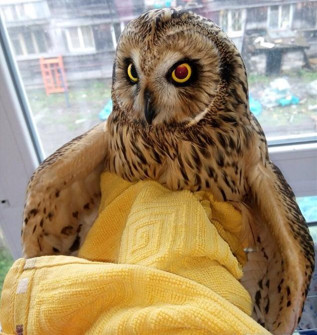 Молодую сову спасла жительница Южно-Сахалинска