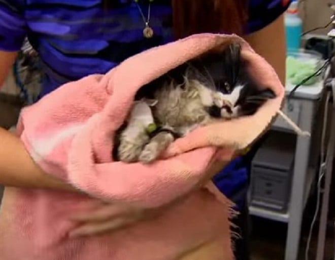 Найденный на стройплощадке, замерзший котенок лежал без сознания. Таким его привезли в больницу…