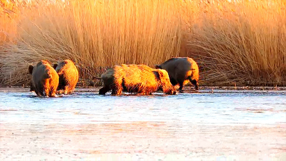 Учёные заявили, что нашли редких тувинских кабанов-рыболовов