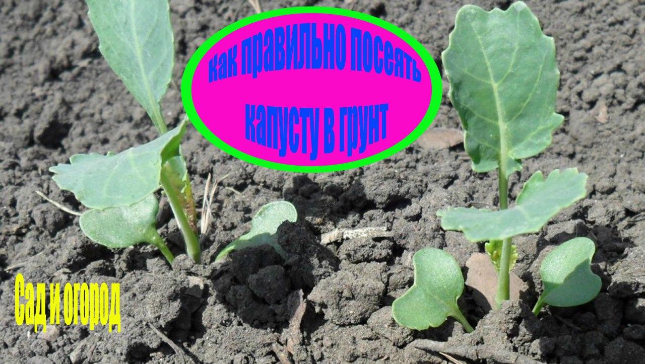 Как правильно посеять капусту в грунт