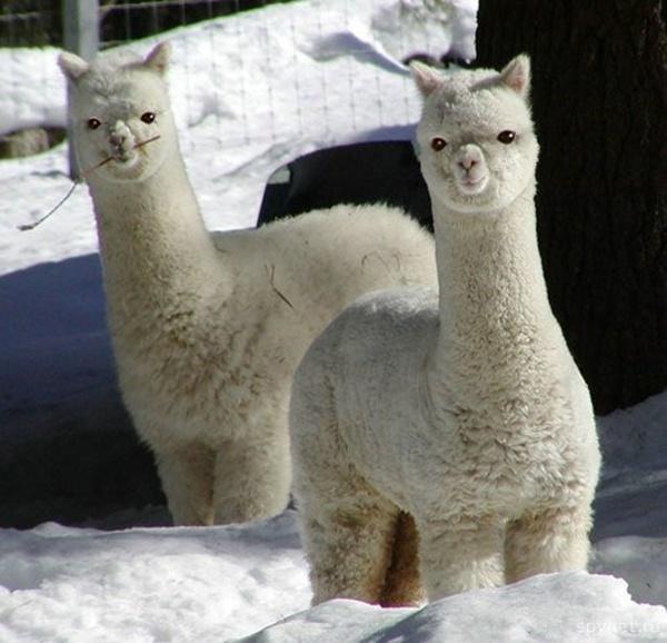 Красивые фотографии животных в снегу