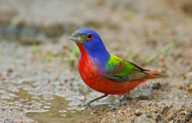 painted bunting (650x416, 39Kb)
