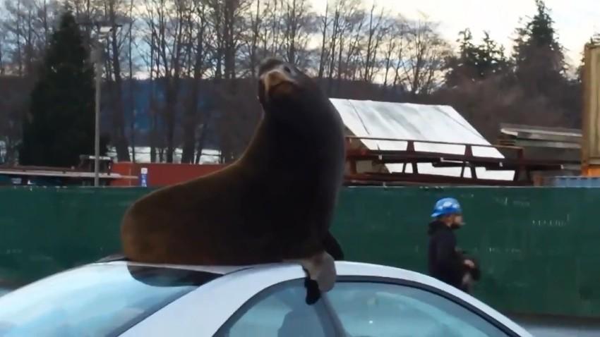 Морской лев забрался на крышу автомобиля