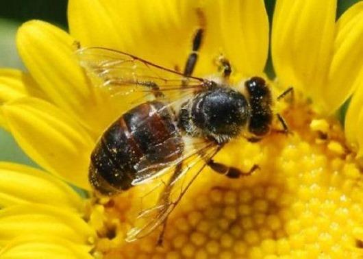 Лечение заболеваний человека пчелами