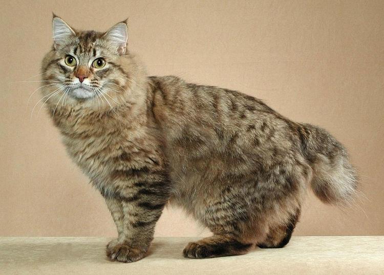 КОШКИН ДОМ. Самая крупная порода домашних кошек