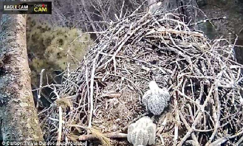 Камера видеонаблюдения за птенцами орлана возможно засняла Снежного человека