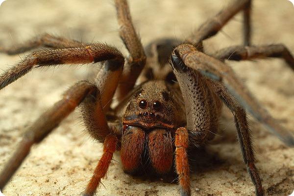 Желтосумый паук