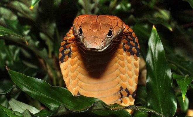 Заклинатель решил помочь кобрам и распутать огромный клубок змей
