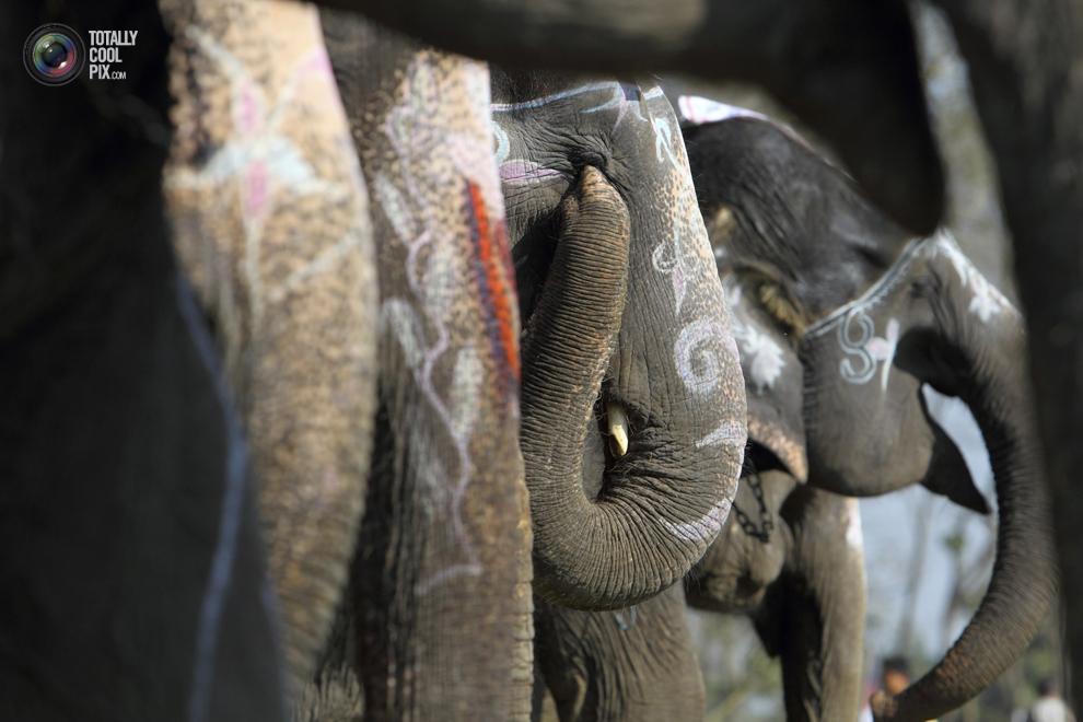 elephants 009 Слоны в национальном парке Читван