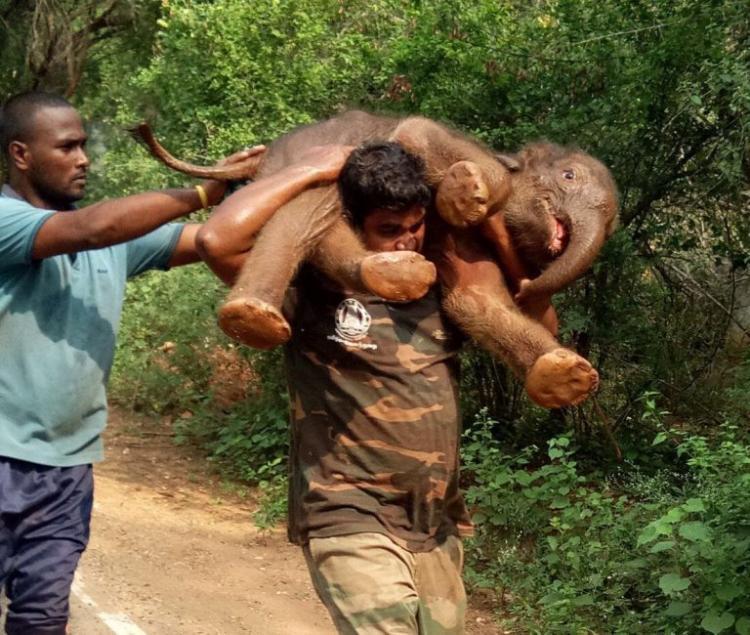 Индийский лесничий на руках отнес новорожденного слоненка в джунгли