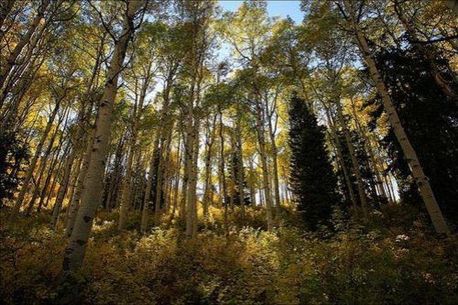 Осинообразный тополь В Юте...Несмотря на множество стволов представляет собой единое древесное образование, растущее из единого корня... И хотя возраст отдельных ветвей не превышает 130 лет, в целом это дерево-лес живёт уже приблизительно 80 000 лет...
