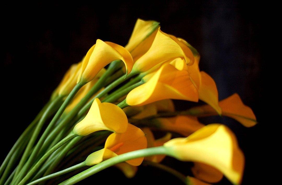 10 самых частых вопросов о клубневых каллах (посадка, уход, хранение)