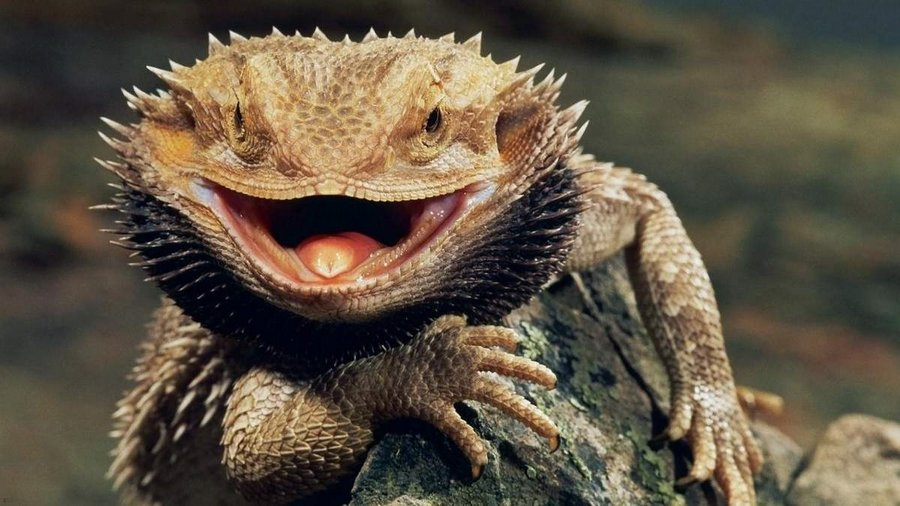 Мальчик из Санкт-Петербурга за варенье купил ящерицу