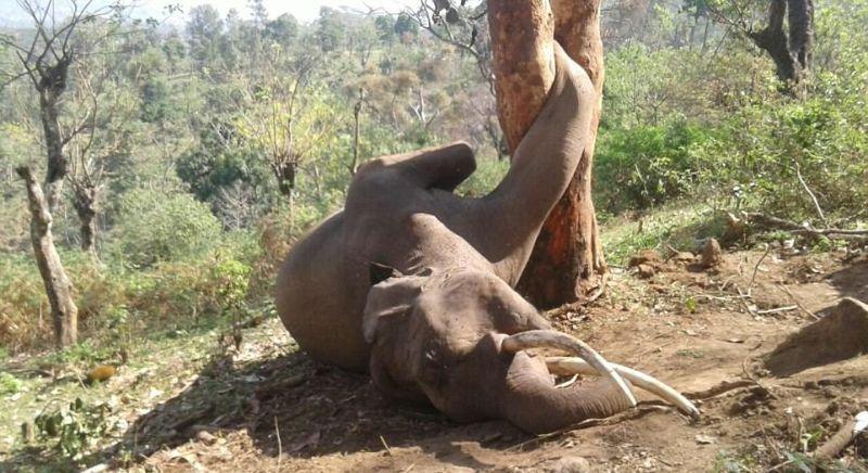 Слон попал в смертельную ловушку, застряв ногой в дереве