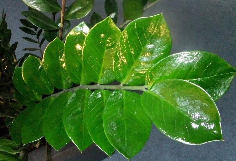 "Zamioculcas или ""долларовое дерево"" - секреты ухода"