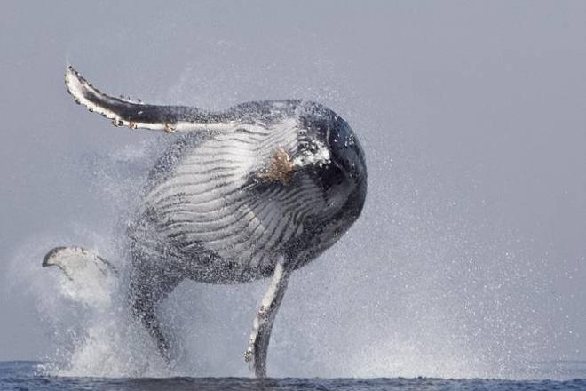 Фотограф запечатлел парящего кита. Невероятные кадры!